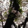 桜が散ると~