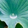 福岡城跡地周辺の蓮の花