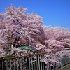 宇治川の桜 本日全部、散りました。また来年かぁ 桜さん ありがとうございました。