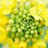 ピエリ守山の隣で菜の花を撮る