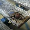 カブトムシが来た。虫が苦手な方は、ご注意ください。
