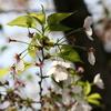 2018 お花見(武蔵小杉桜まつり)