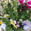 秋の花を植えました~定番のパンジー・ビオラ・シクラメン