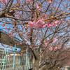 三崎口の桜が咲き、横浜中華街もさらに変遷。