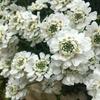 今年も花壇に純白の花束が!2年目のイベリス・ブライダルブーケ