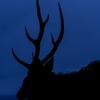PORTRAIT EZO-SHIKA (Hokkaido deer) - Blue Dignity
