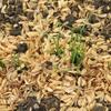ネギの種蒔きと発芽