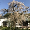 返照を枝垂れ桜の流れ落つ