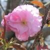 藻器堀川の桜