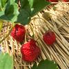 【富山】八百楽農園(やおらファーム)さんで無農薬栽培の美味しい苺の「いちご狩り」