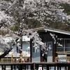 2019年の桜 ア・ラ・カルト 樽見鉄道 木知原駅