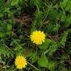 そういえばタンポポは大活躍の花