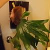 P.hillii 'Dragon' から次々と胞子葉が出てきている。