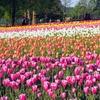 広島・世羅高原農場のチューリップ畑は感動ものの美しさ!見頃はゴールデンウィーク