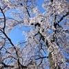 🌸日暮里、谷中付近の桜✿