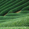 緑茶・ウーロン茶・紅茶は全て同じ葉っぱなの?カフェインの話も。