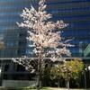 桜の音楽(リズム)♪