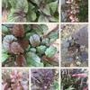 私の庭の銅葉たち