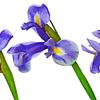 フローラ・ヤポニカ/Flora Japonica
