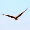 猛暑の空中を元気に飛ぶトビ