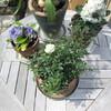 週明けの庭・・可憐な花と、オタマジャクシ