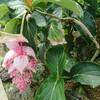新宿御苑で見た植物⑫ メディニラ マグニフィカ