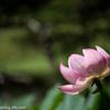 蓮の花が咲く旧島松駅逓所(きゅうしままつえきていしょ)を散策してきた