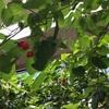 サイフリボク(采振り木)