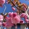 さて、韓国 昌原(창원 チャンオン)の 桜は どれでしょう
