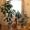 できる範囲でやる(大きい観葉植物の植え替えと水やり)