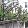 庭の木:棒樫の剪定を行った事。
