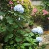 紫陽花の原産国は日本‥。