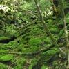 屋久島・白谷雲水峡の思い出-苔むす神秘の森に感動-