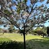 撮った写真で「桜」の種類と見頃(早咲き・中咲き・遅咲き)を学びます