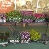 速報 入荷トピックス 春の花がいっぱい❗
