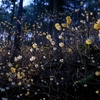 満開のミツマタ・里山に舞い降りた黄色の妖精 @鶏足山・焼森山
