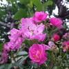 20180613(水曜日)  今朝の花々そして葉っぱ達  in  MORIOKA