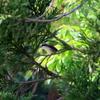 雑木林の木陰で雄を待つ雌のチゴモズ