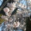 桜と小鳥🌸日記