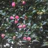 山茶花の灯る木陰に萌ゆる恋
