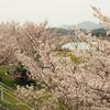 春のお伊勢参り旅行:宮川堤で満開の桜を楽しむ