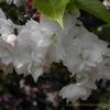 桜の園 市原虎の尾 イチハラトラノオ,Prunus jamasakura