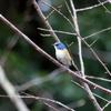 「高崎自然の森」の木々にとまるルリビタキ雄