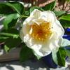 咲かすの早すぎた…「ケルビーノ」