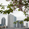 3月上旬:横浜駅周辺をお写んぽ。その3 河津桜と帷子川(かたびらがわ)編