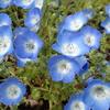 身近な花で植物の不思議を体験! あいかわ公園のネモフィラ