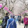 日本屈指の桜の名所「権現堂堤」にポタリングしてきた話