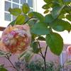 これで限界かな…「エドゥアール・マネ」の開花