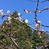 桜前線2019@円山公園 見頃にはちょいと早かった2019桜初め