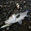 高知遠征 四万十川での釣り